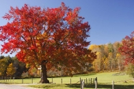 Red maple on Cheney Lane
