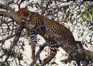 Napping Leopard