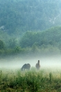 Horses :: Horses in the Mist
