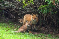 Miscellaneous Animals :: Fox family